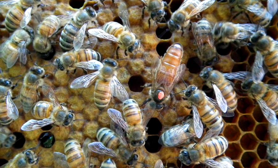 apimelis miel abeille ruche apiculture alvéole cire