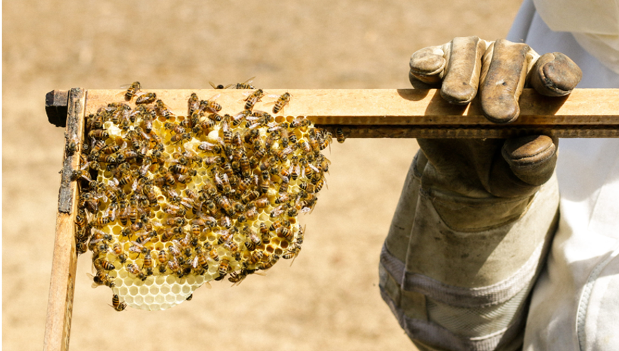 apimelis miel abeille ruche apiculture essaim