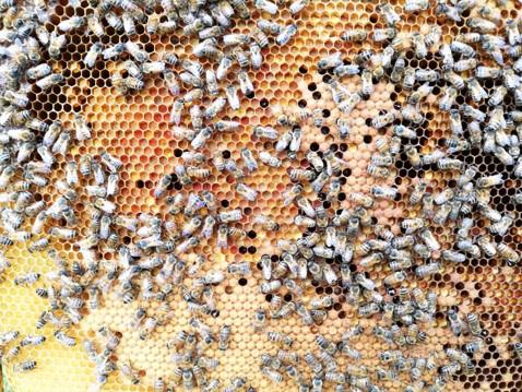 apimelis miel abeille ruche apiculture alvéole cadre hausse