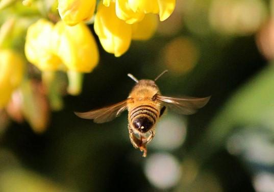 apimelis miel abeille ruche apiculture environnement biodiversité pollen