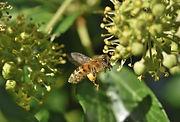 partenaire abeilles parrain ruche pollinisation biodiversite