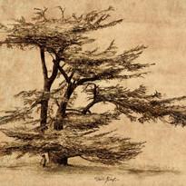 cedar tree reduced.jpg