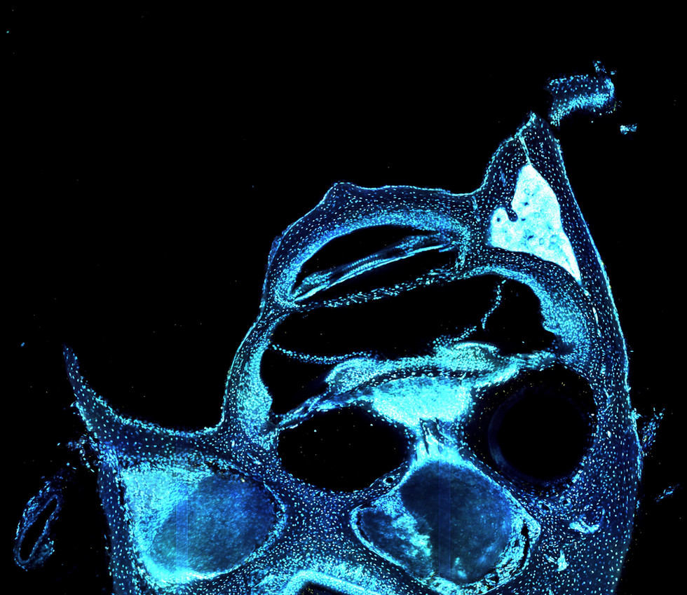 Species: Mouse Tissue: Cochlea Fluorophore: DAPI