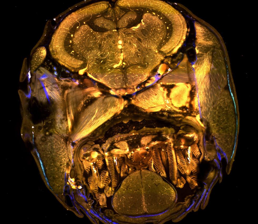 Species: Zebrafish Tissue: Whole fish Fluorophore: Autofluorescence