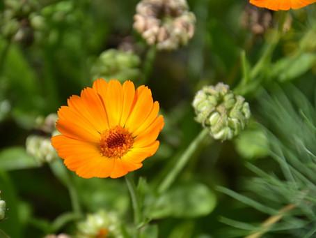 More Edible Flowers!