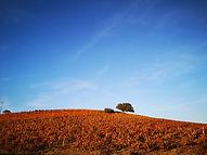 vieux chêne dans le Beaujolais