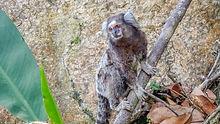 petit singe à Rio de Janeiro