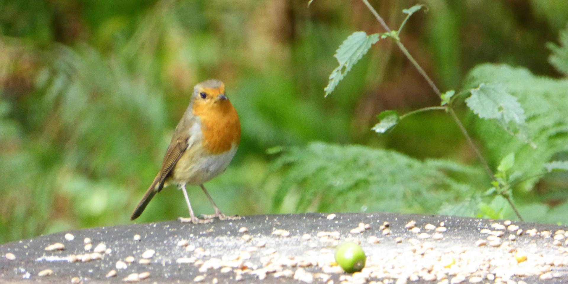Chirpy Robin