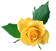 Yellow_Rose_PNG_Transparent_Picture.png