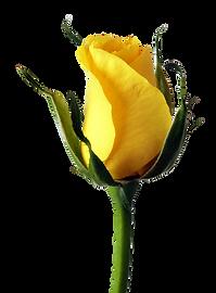 YellowRose.png