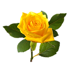 Bleautiful-yellolw-rose.png