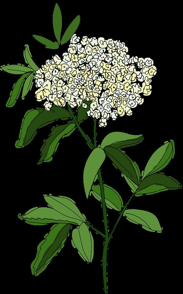 elderflower fInal.png