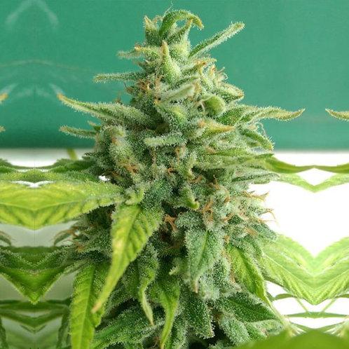 Chem Toffees Regular Seeds
