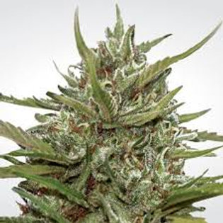 Auto Maria ll Auto-Flowerng Feminised Seeds