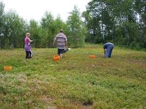 2010 blueberry raking plus 160.jpg