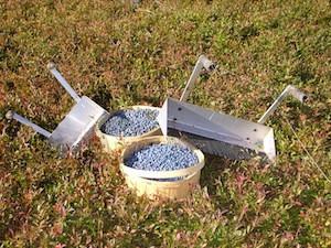 2010 blueberry raking plus 188.jpg