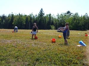 2010 blueberry raking plus 143.jpg