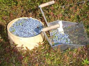 2010 blueberry raking plus 187.jpg