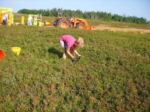 2010 blueberry raking plus 125.jpg