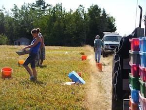 2010 blueberry raking plus 144.jpg