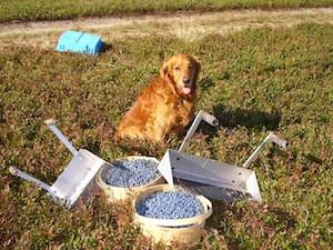 2010 blueberry raking plus 190.jpg
