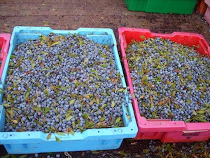 2010 blueberry raking plus 148.jpg