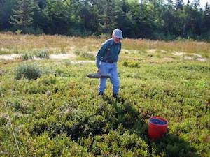 2010 blueberry raking plus 123.jpg
