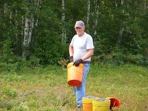 2010 blueberry raking plus 159.jpg