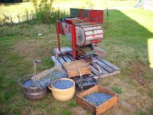 2010 blueberry raking plus 207.jpg