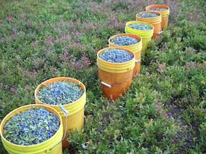 2010 blueberry raking plus 150.jpg