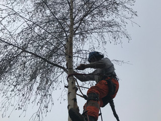Silver birch removal and copper beech in Barnsley