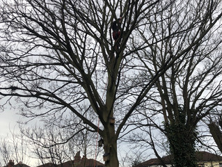 Sycamore removal Leeds