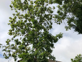 Another busy few days for our tree surgeons in Leeds, some tree removal and a bit of tree pruning.