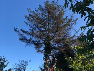Fir tree removal
