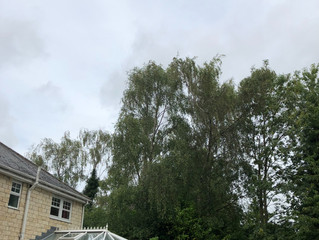 The team removing birch trees in Leeds, nice cooler weather for our tree surgery team.