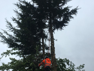 Our team tree surgeon's areout working in Leeds again today,another conifer removal in Leeds