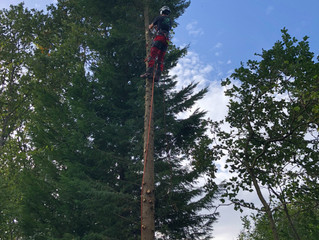 The M.I.M Tree Services team working in York taking down some large conifer trees, the weather was f