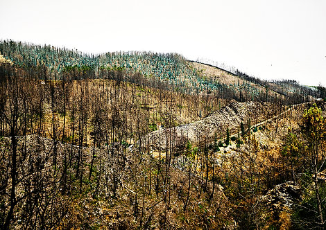 burned trees after forest fire in nature
