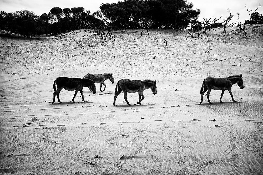 donkeys walking at the beach in eastern cape