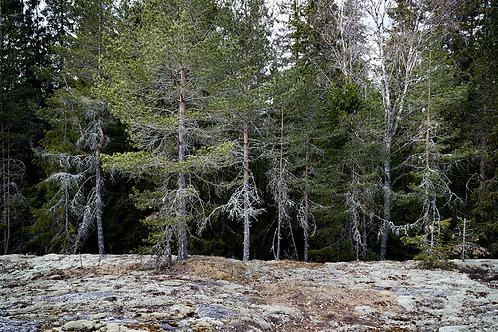 Dalsland woods