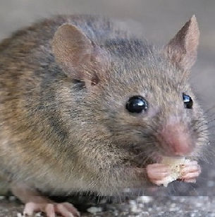 Pest Control and Mouse or Mice Treatments in Wellington, Hutt Valley and Porirua
