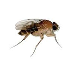 Drain Flies or Phlorid Fly treatments and Pest Control in Wellington, Hutt Valley and Porirua