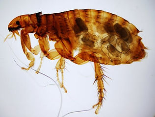 Flea treatments an extermination in Wellington Hutt Valley and Porirua. How to get rid of Fleas