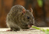 Rat and mice treatment in Wellington, Hutt Valley, and Porirua