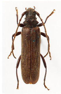 Two tooth long horn beetle treatments in New Zealand, Wellington Hutt Vally And Porirua