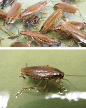 German Cockroach Treatments and control in Wellington Hutt Valley and Porirua. Integrated Pest Management