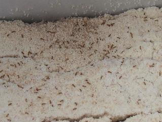 Flour Mites, Pantry Mites, Extermination an Control in Wellington, Hutt Vally and Porirua