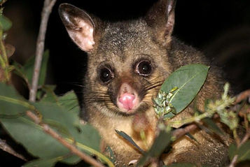 Possum control and removal in Wellington Hutt Valley and Porirua Integrated Pest Management