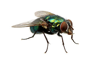 Fly / Flies treatment and control for flies in Wellington Hutt Valley and Porirua