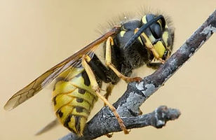 Wasp cotrol and all other pest control needs in Welligton, Hutt Valley and Porirua